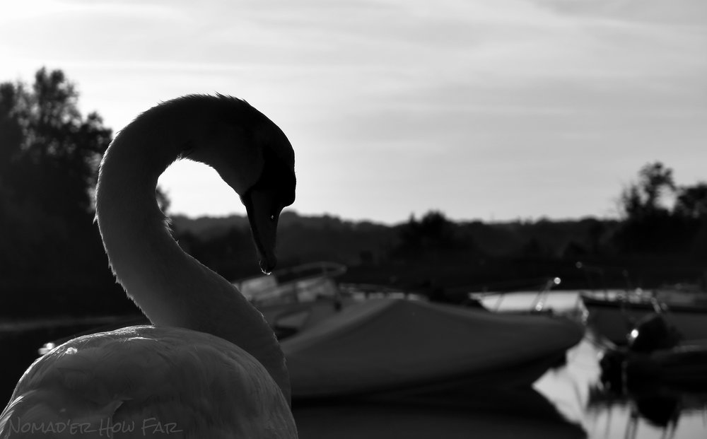 Swan - Lymington, UK