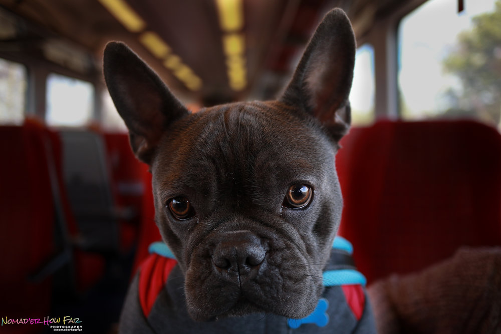 Stitch the frenchie - UK