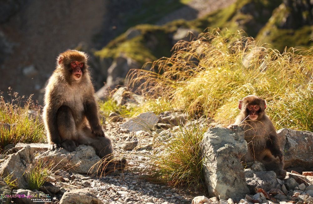wild japanese macaques