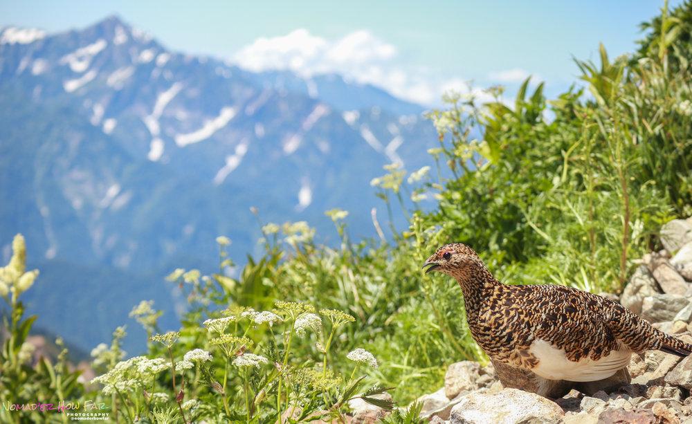 Mountain grouse // Hakuba, Japan