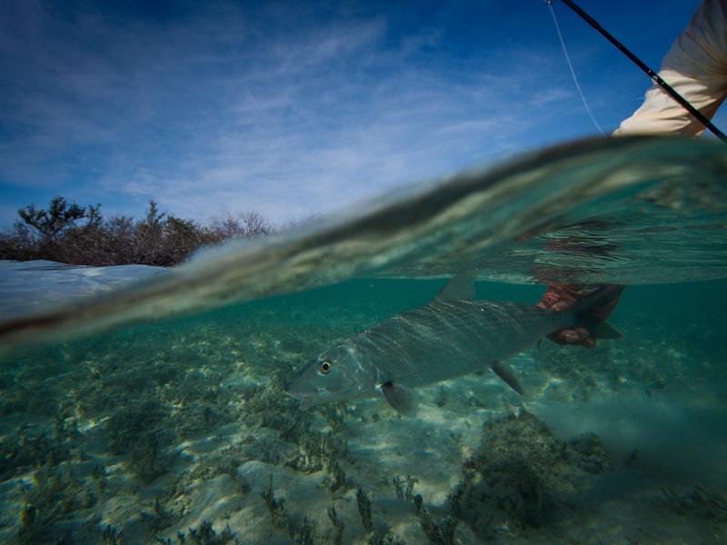 Underwater bonefish image.
