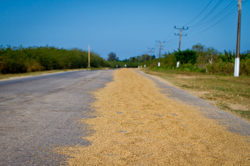 Rice is an important crop in Cuba, second only to sugar cane. How do they dry the rice after they harvest it you ask? Well, they dry it on one lane of a country road of course!