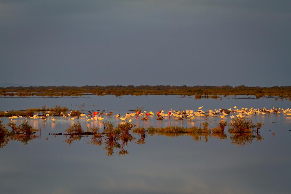 Flamingos, Herons and Pelicans mix near Cayo Cruz