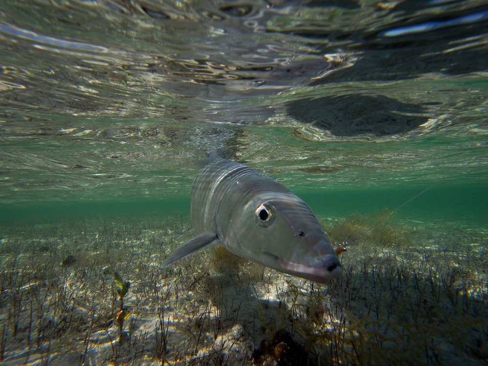 Bonefish in clear water at Cayo Cruz