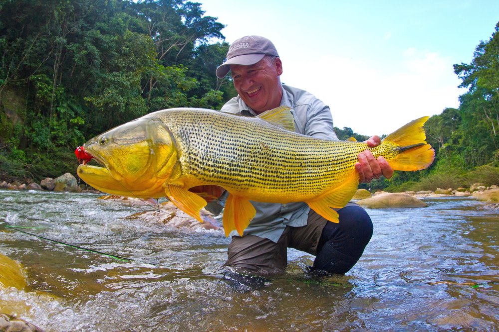 Golden Dorado are like a cross between a Tiger Fish and a Tarpon. Add to that the fact that they live in jungle rivers, and they represent a unique fishing experience.