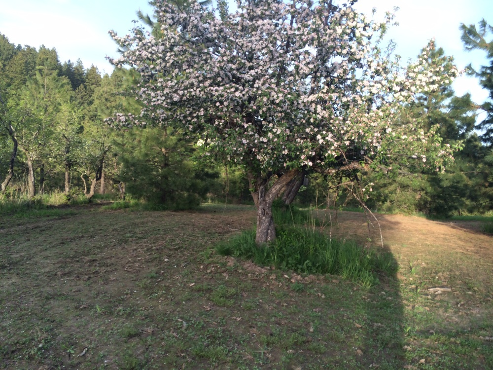 Apple tree with pink and white blooms.  Around sunset.  16 May 2014.