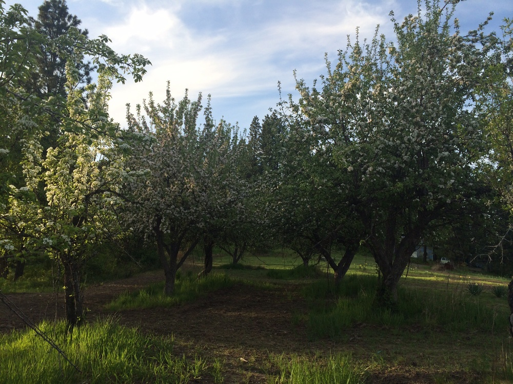 Pear and Apple trees.  Walking through the trees, I am immersed in the song of nature.  Around sunset.  16 May 2014.