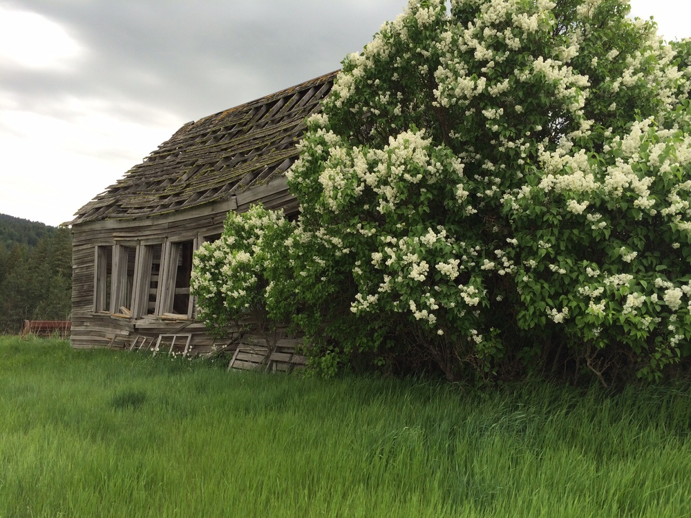 Dilapidated one room school house.  Outskirts of Potlatch, Idaho.  And a beautiful white lilac bush that blooms beside it each year.  24 May 2014.
