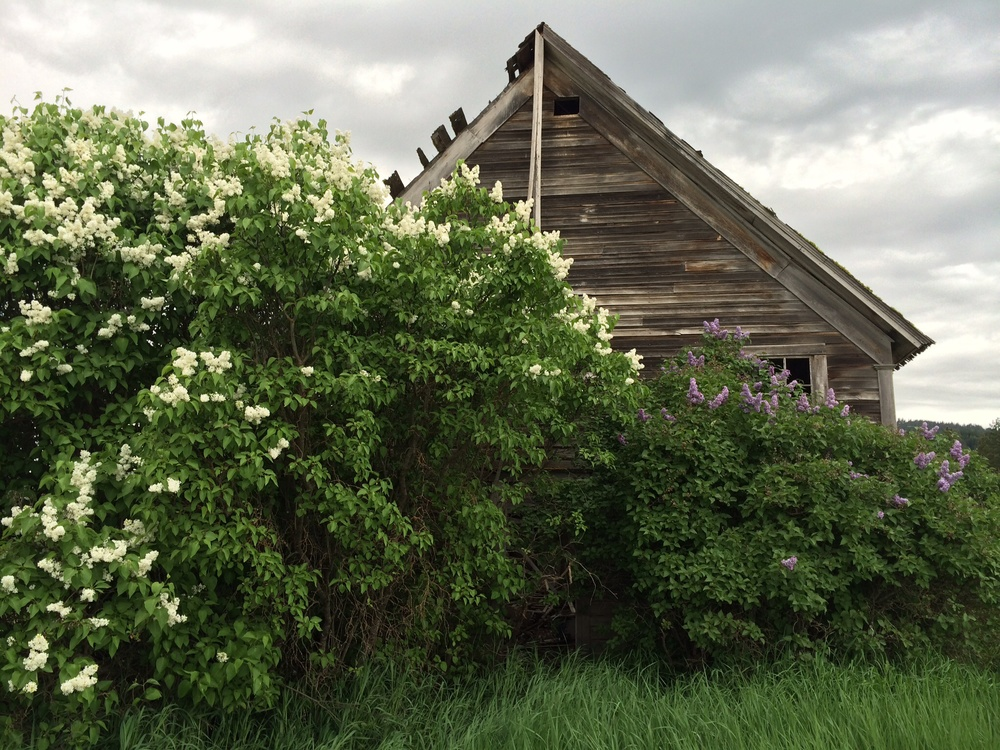 The front entrance of the school house, buried by blooming white and purple lilacs.  24 May 2014.