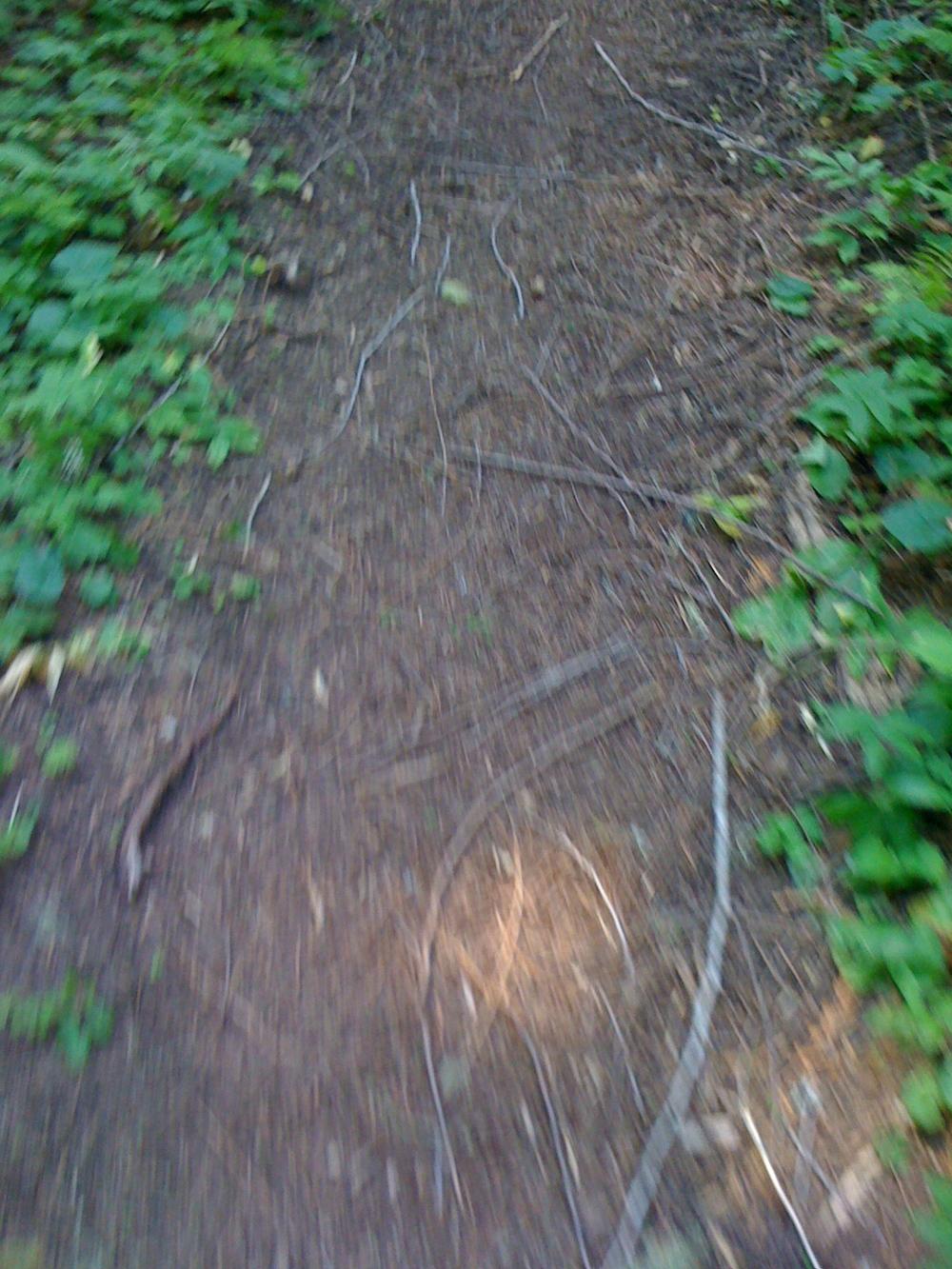 Hobo Cedar Grove Botanical Area. Idaho. 2 August 2009.