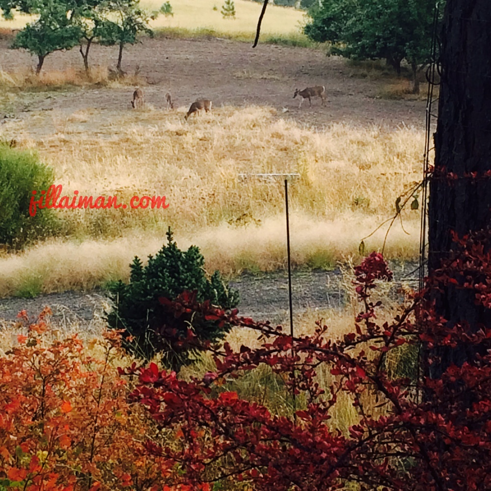 Deer graze on the dried up wildflowers in the field, as Autumn colors ablaze. 19 September 2014.