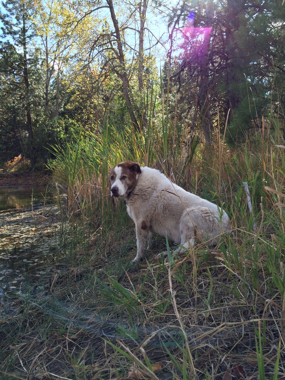 Woody the Dog relaxes next to the Pond.  1 October 2014.