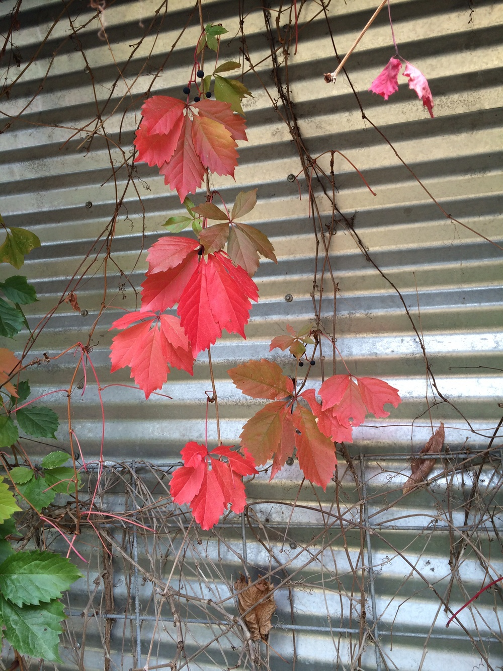 Virginia Creeper puts on a beautiful show: red, olive, orange, and lovely. October 2014.