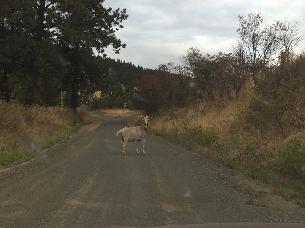 Goat who jumped the fence. A country road in Idaho. 29 September 2014.