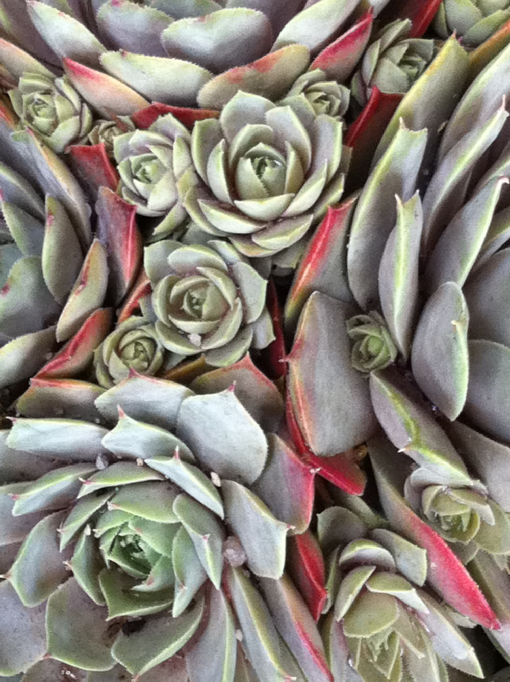 Hens and chicks, the way they multiply is insanelybeautiful.