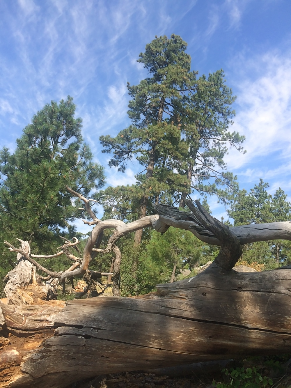 A fallen tree with crooked limbs illustrates the way which our life path winds in unexpected ways.  Worry not, you ARE on the right track.  Kamiak Butte Park, near Palouse, WA.