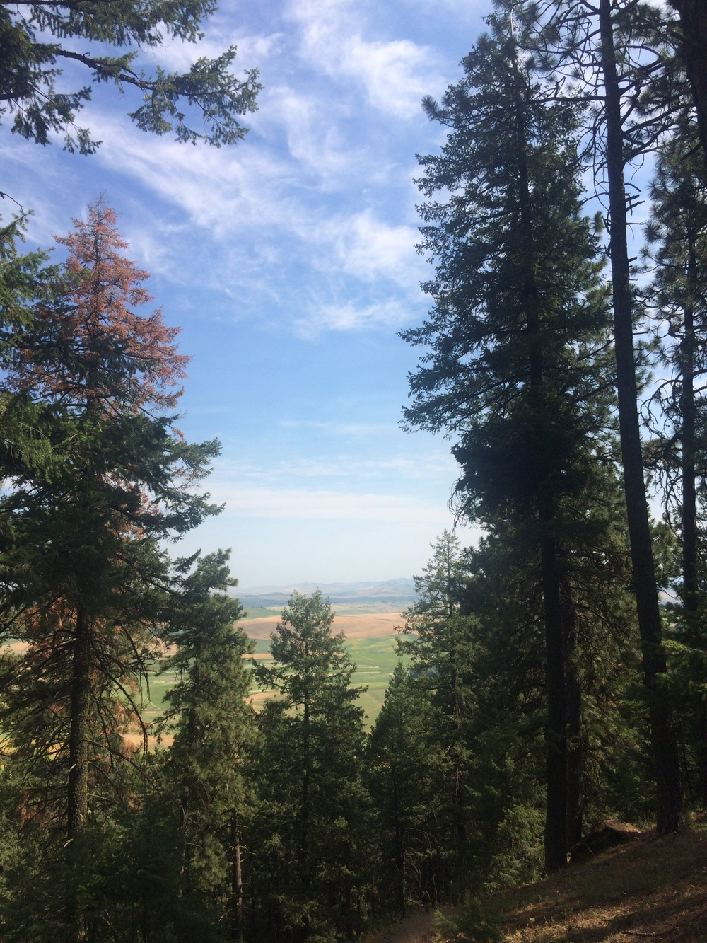 The Palouse landscape peeks thru the trees on my way to the summit of Kamiak Butte.