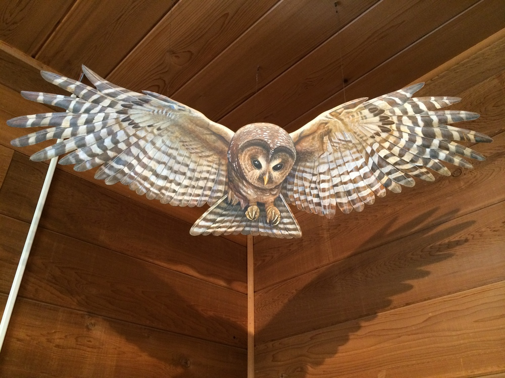 A big owl soars at the Olympic National Park visitors center, Port Angeles, Washington.  August 2014.
