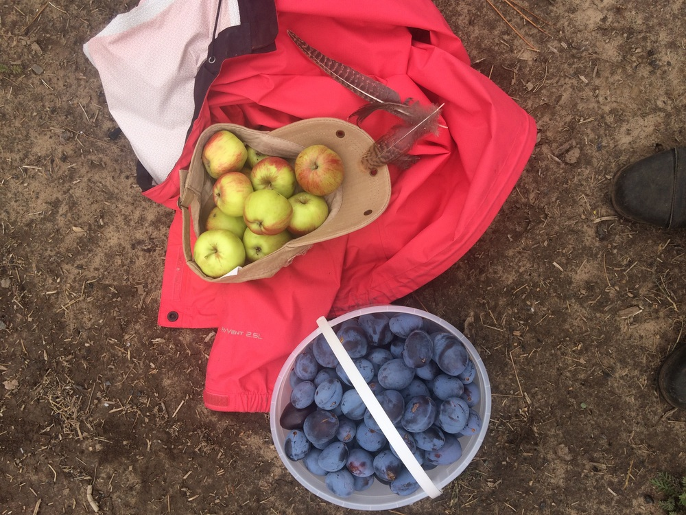 Still life in the orchard.  Apples, plums and turkey feathers.  6 September 2015.