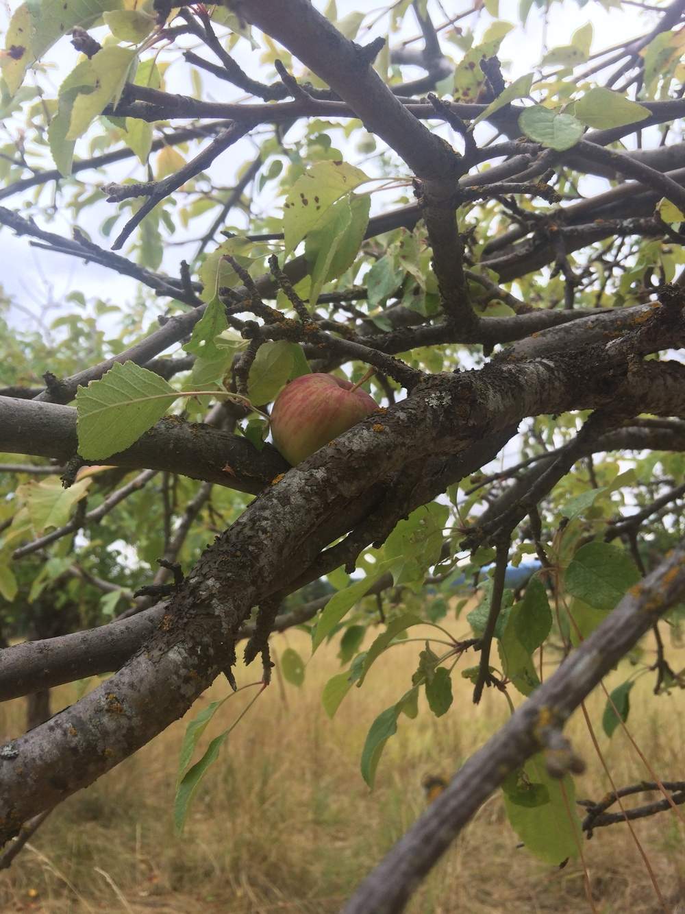 One apple, lovingly perched. September 2015.