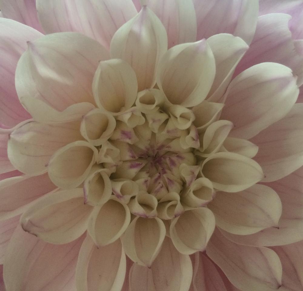 Dahlia, close up. September 2015. Photo by Jill Lawrence.