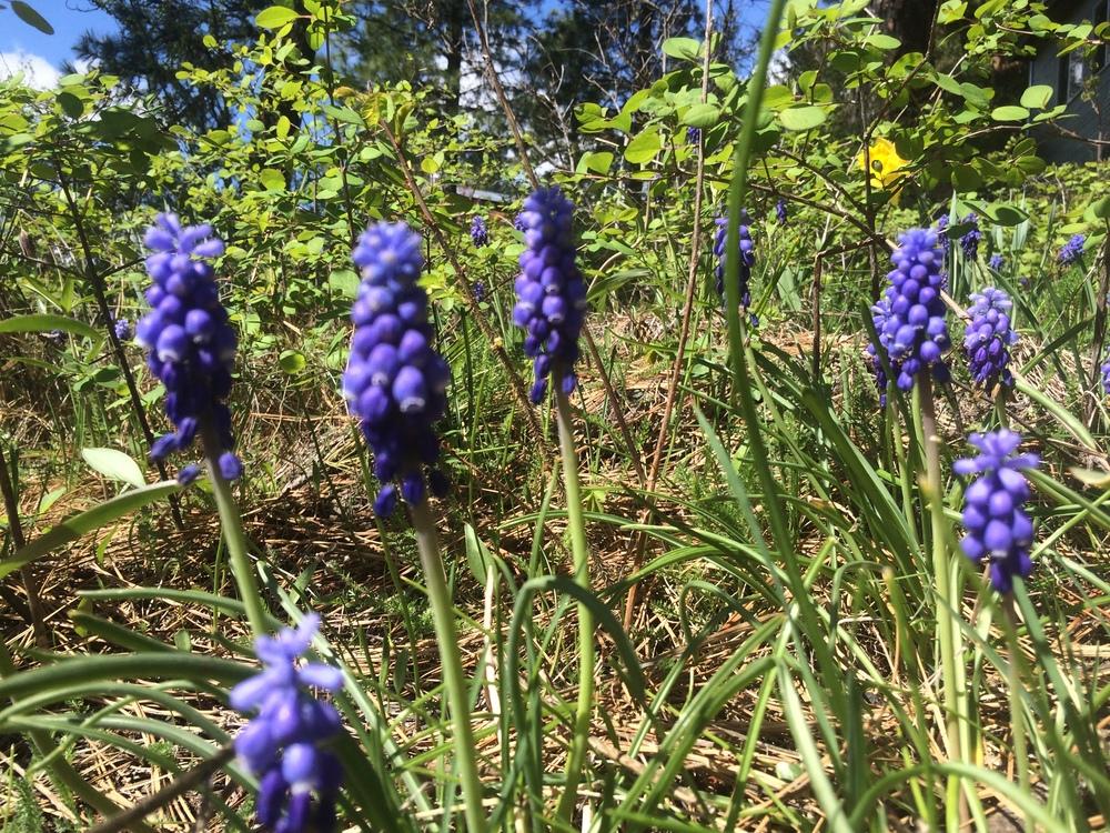 Grape Hyacinth. 16 April 2016.