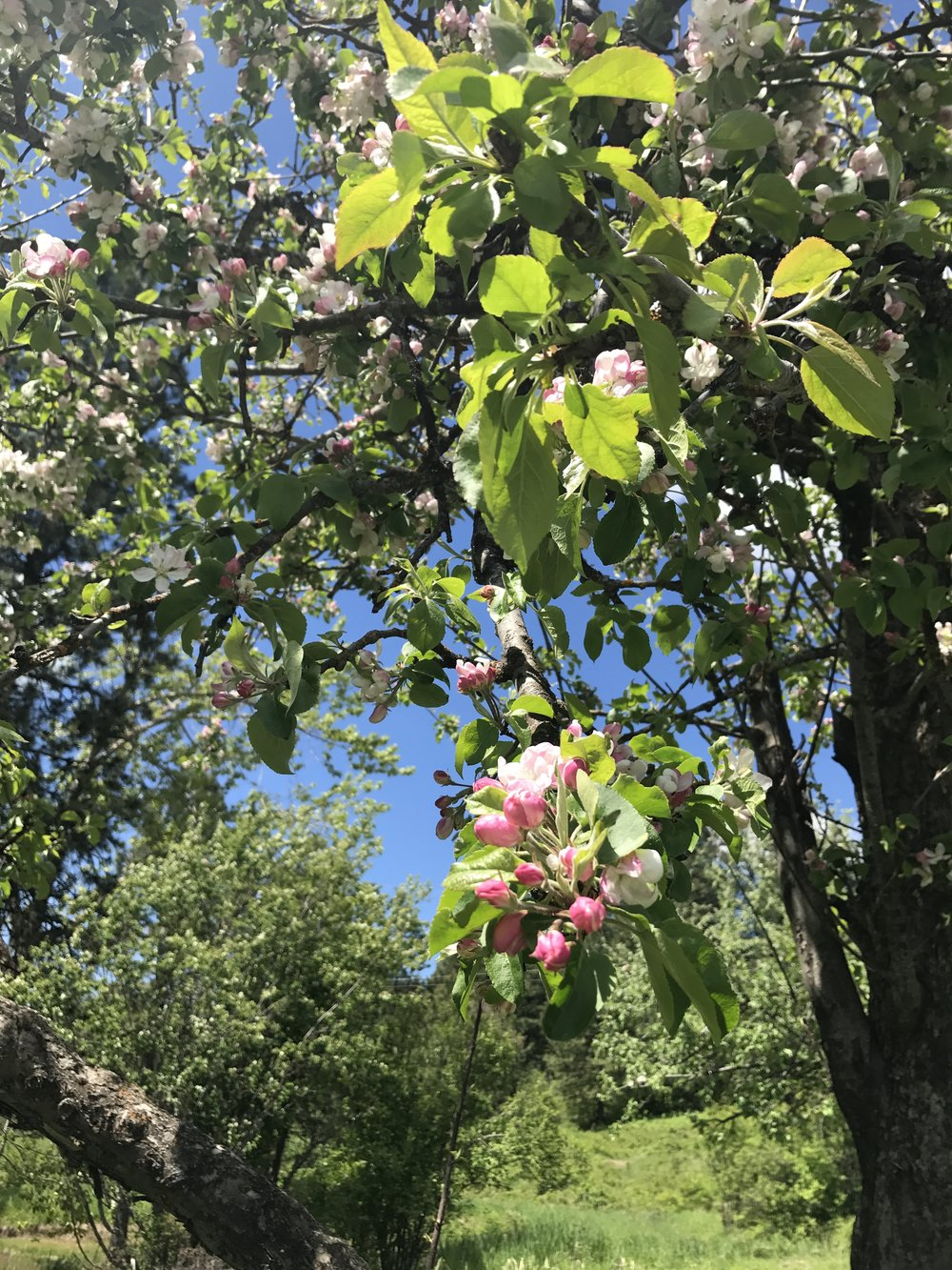 Apple tree in bloom. 21 May 2017.