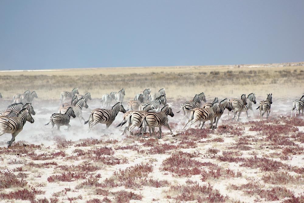 Africa_Zebra_Stampede_Namibia.jpg