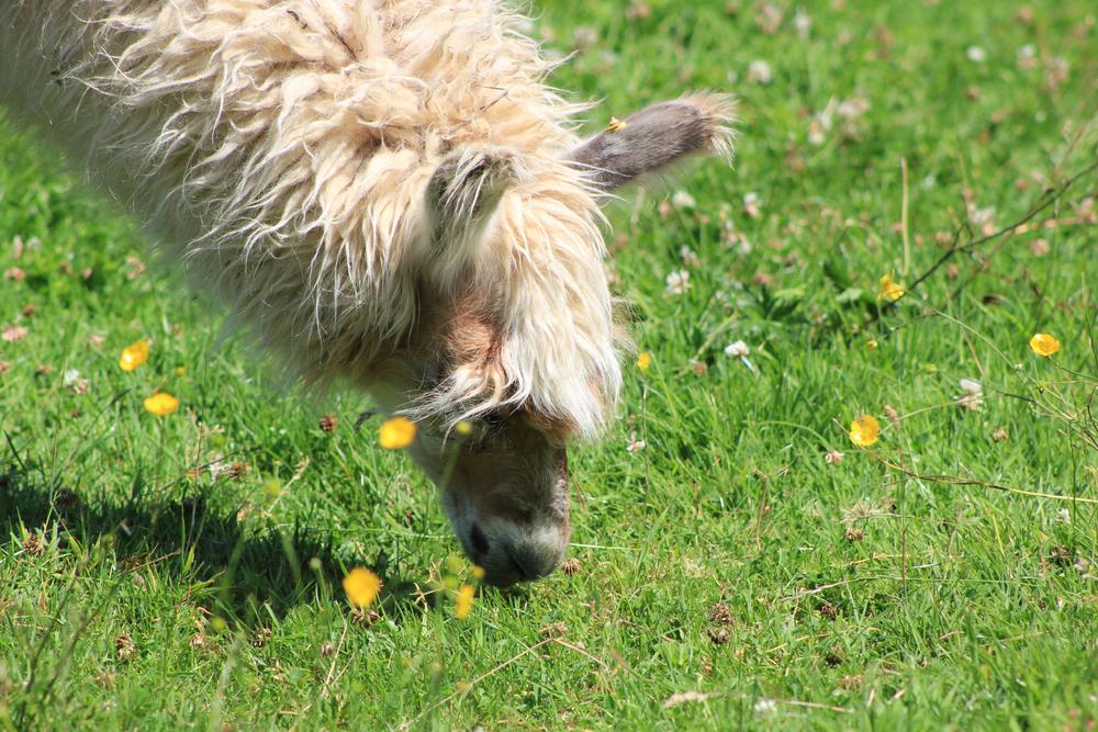 Llama-Lland_slideshow-5.jpg