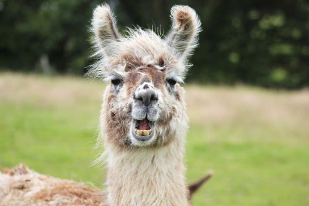 Llama-Lland_slideshow-7.jpg