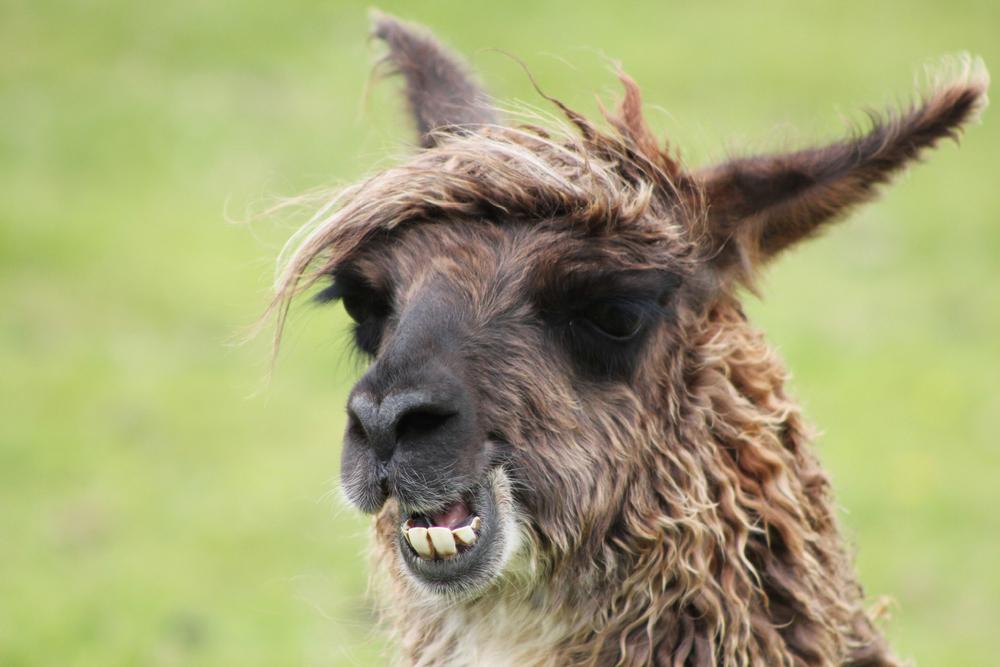 Llama-Lland_slideshow-8.jpg