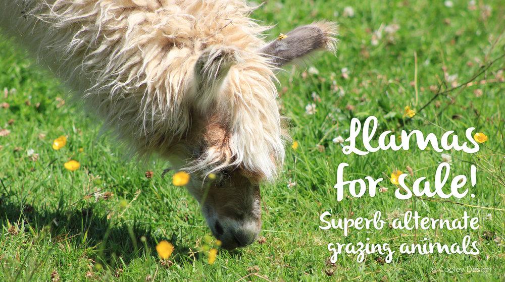 Llama-Lland_Slideshow_7.jpg