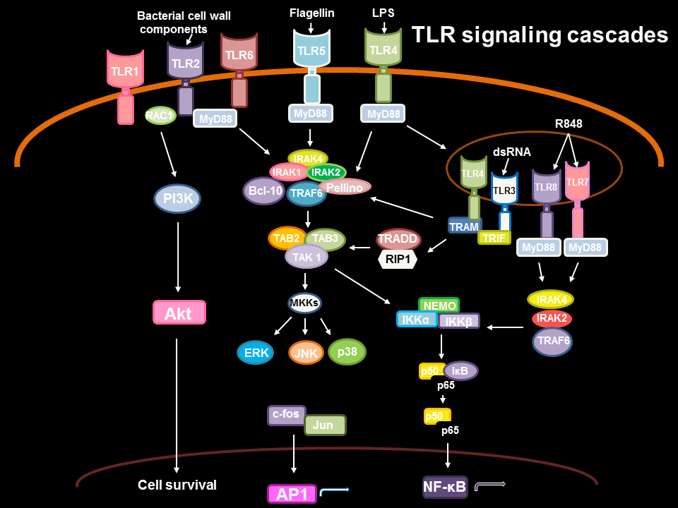 Signalling cascades following TLR ligation