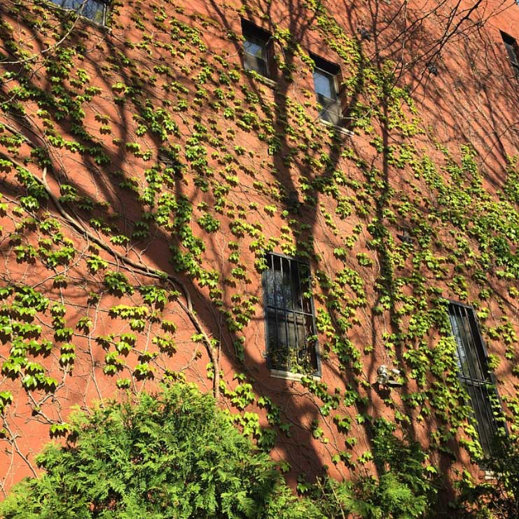 Awe-inspiring ivy on the Lower East Side. Image via @lweatherbee