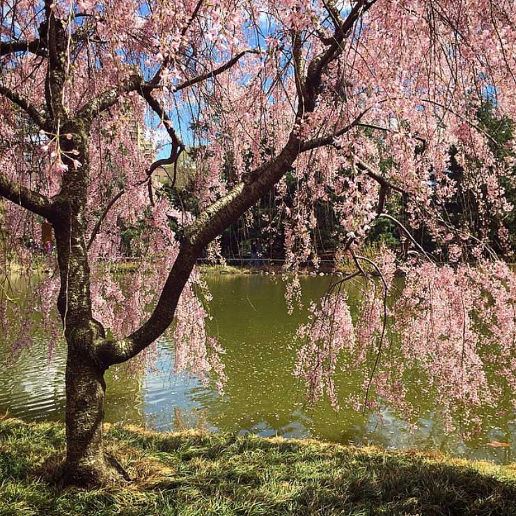 Sakura blossoms in the Brooklyn Botanic Garden. Image via @lweatherbee