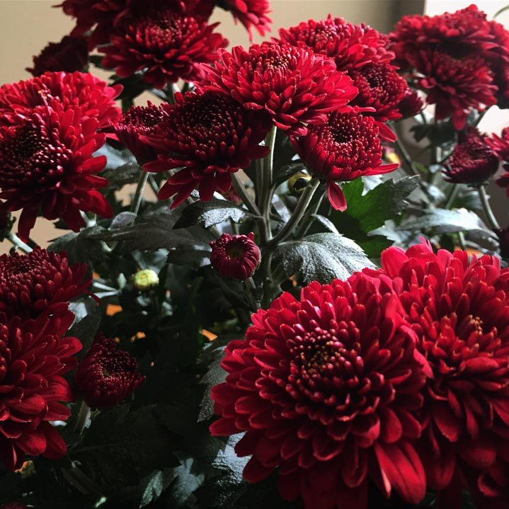 Deep red mums. Image via  @lweatherbee