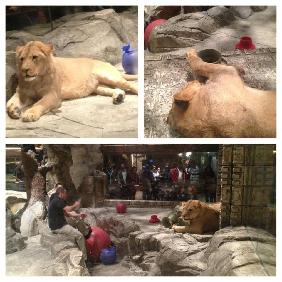 No more cool lion viewing at the MGM, but head over to the Mirage to see white lions, white tigers, leopards, and panthers! (on my Vegas to-do list)