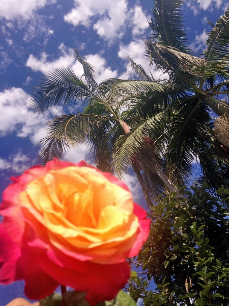 ombre rose palm tree  sky