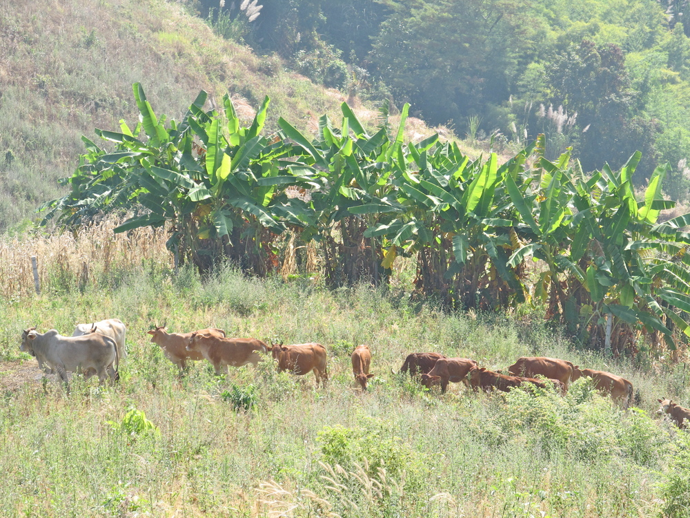 Cattle grazing in the hills
