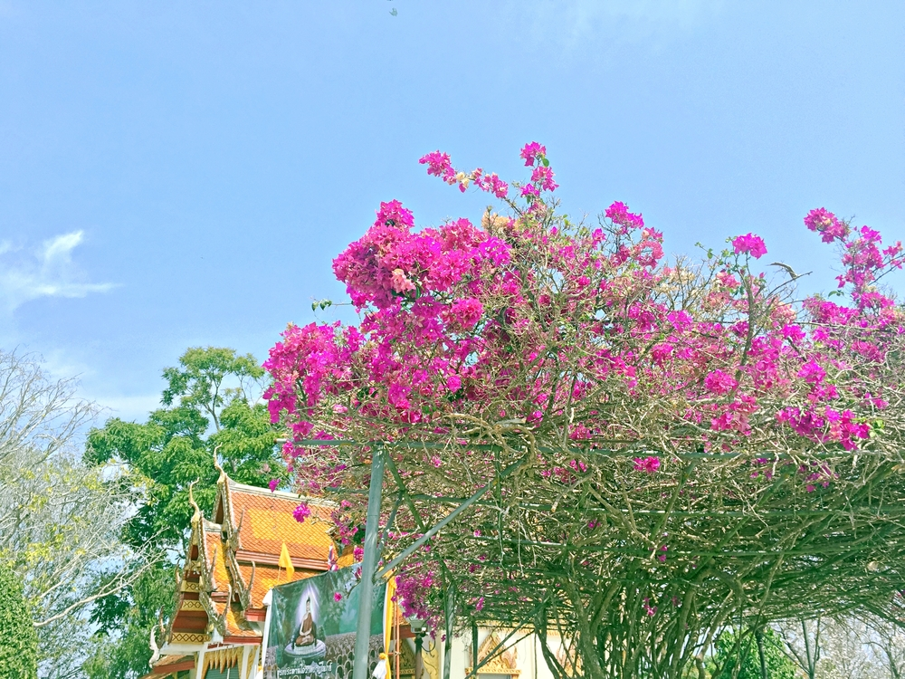 chiang-mai-flowers-wat-doi-suthep