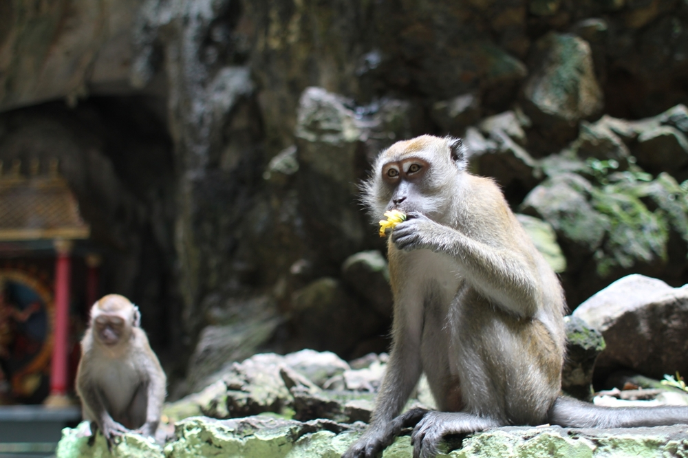 batu-caves-monkeys