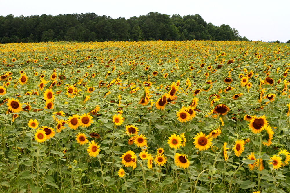 sunflower fields between mile 23 and 24 on the neuse river trail