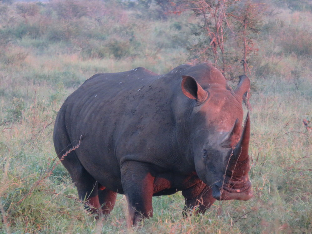 What will happen to our rhino? - WildAct
