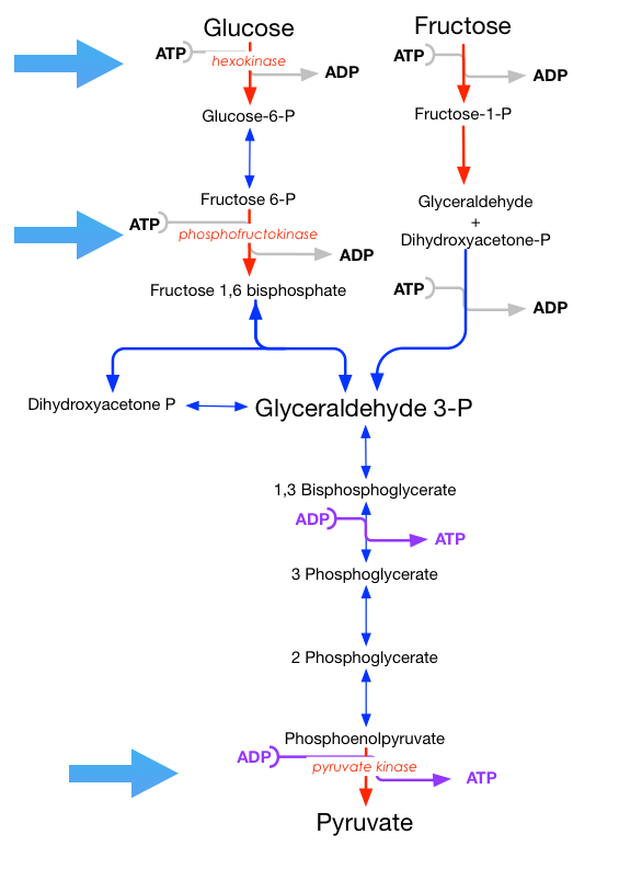 A depiction of fructose metabolism alongside glycolysis. The first step of fructose metabolism is wholly unregulated so ATP will be consumed until either there is no ATP or fructose available.