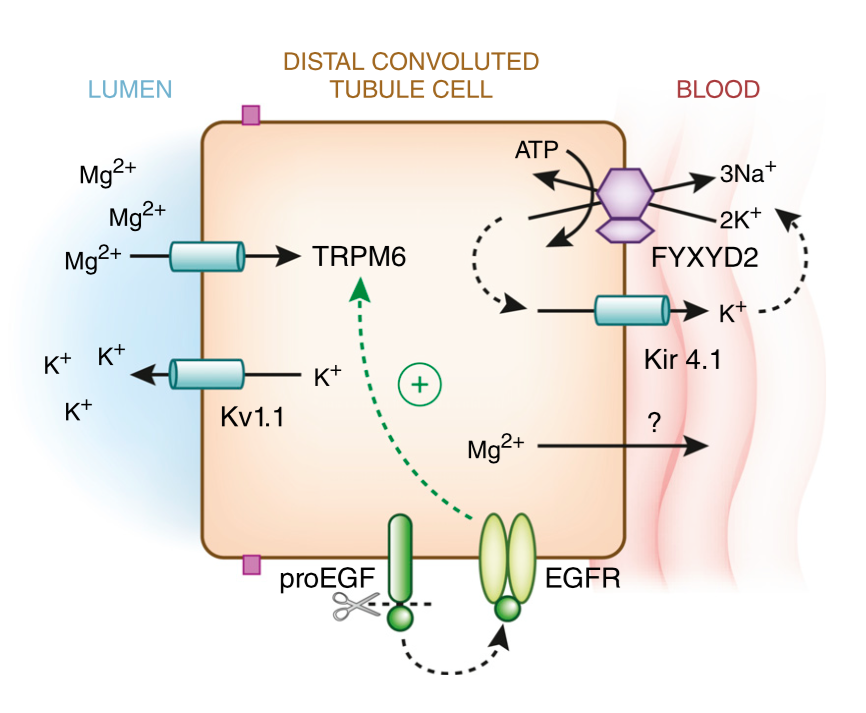 Subramanya AR, Ellison DH. Distal convoluted tubule. Clin J Am Soc Nephrol. 2014;9(12):2147-63. (Link)