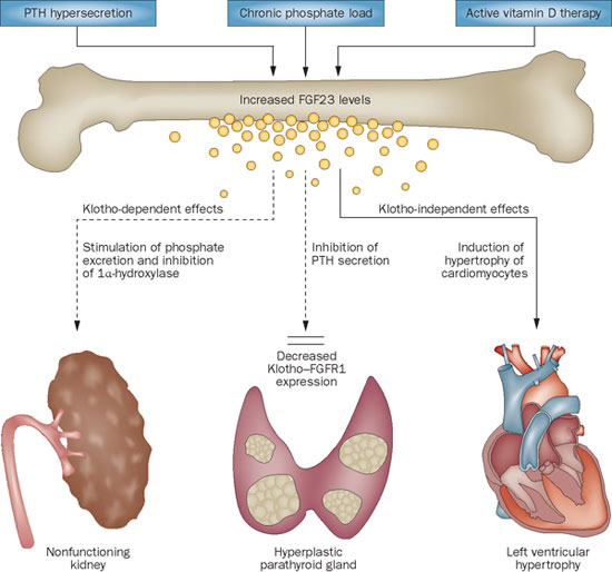 Figure from Komaba et al Nature Reviews Nephrology 2012