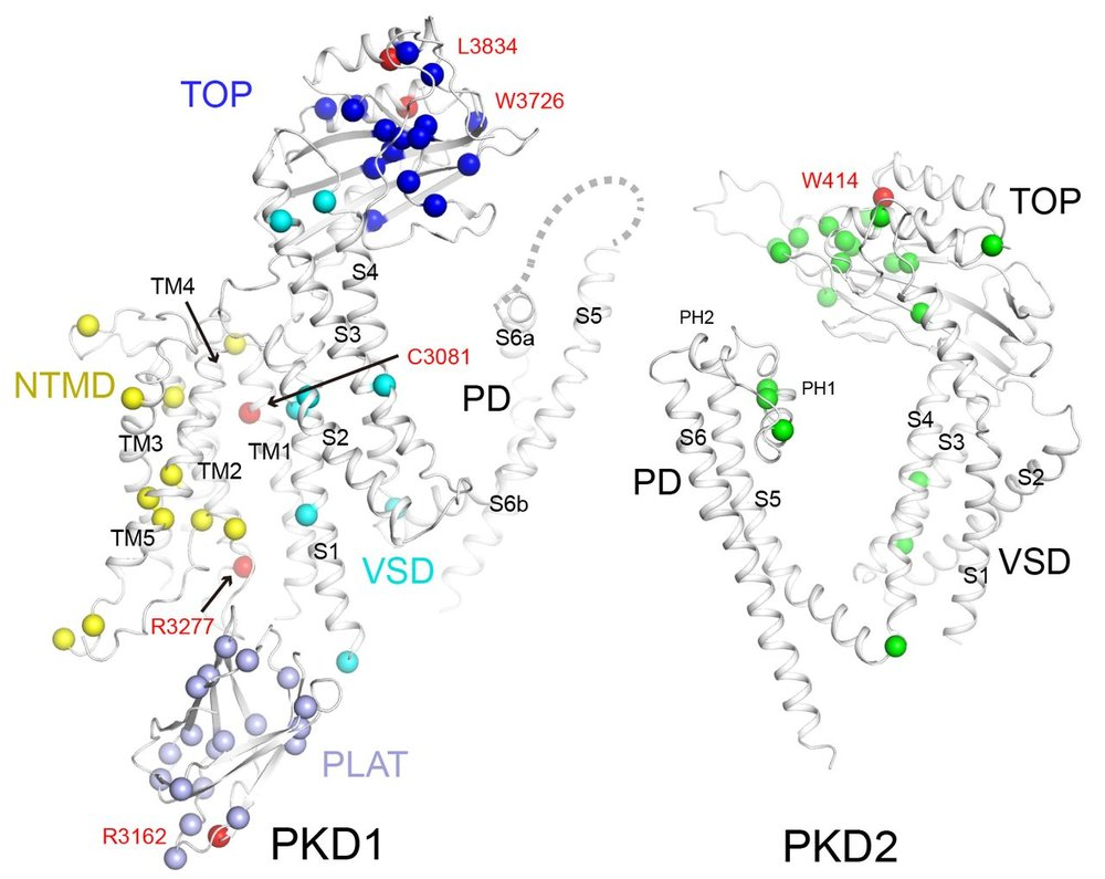 Fig. 6 Structural mapping of ADPKD mutations from Su et al Science 2018    The α carbon atoms of representative disease-related residues are shown as spheres and are domain colored. The missense mutations were summarized from the ADPKD Mutation Database (   http://pkdb.mayo.edu/   ).