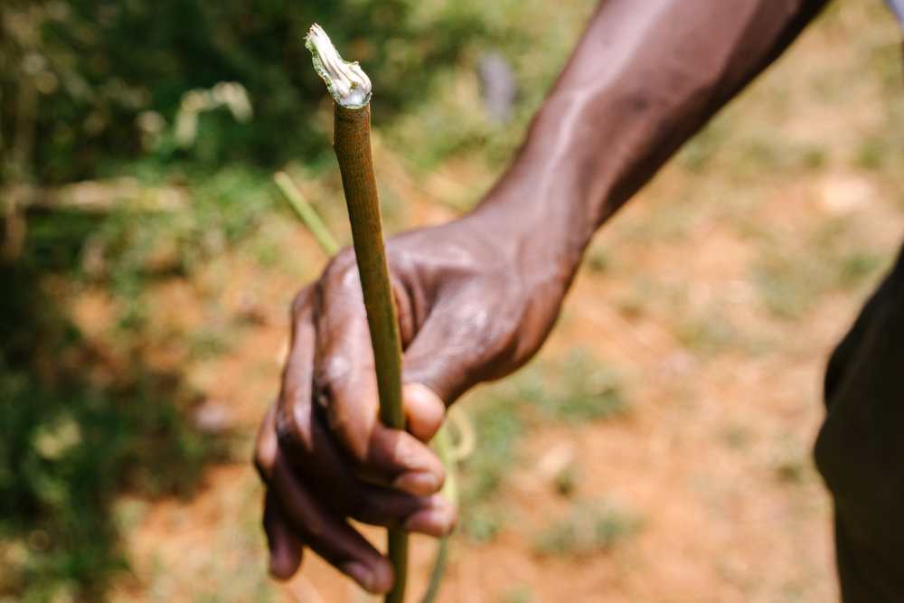 A man holds part of a euphorbia plant. Quacks and traditional birth attendants use these as folk methods for abortions. Women are instructed to insert them into the vagina and leave them there for two weeks. Doctors explained having seen perforated uteruses and serious infections as a result.