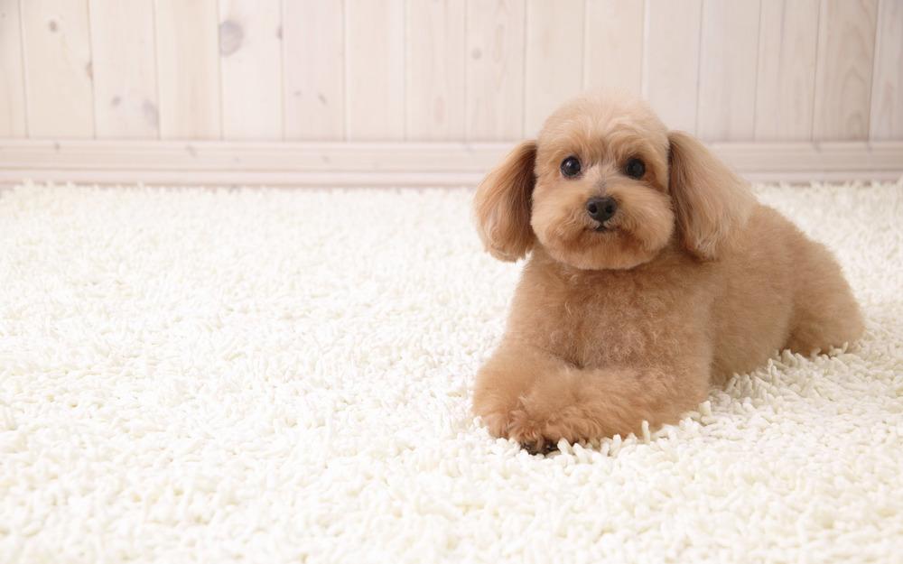 carpet-cleaning-tips-pet.jpg