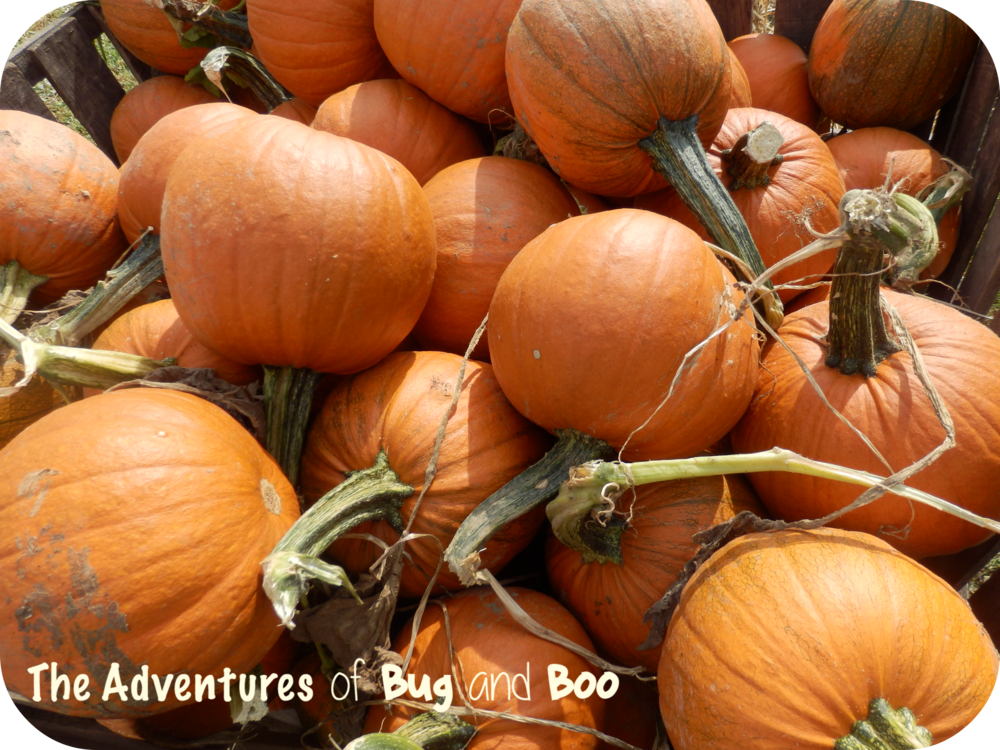Pumpkin patch fun - autumn in western New York!